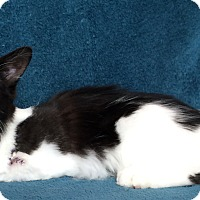 Maine Coon Kitten for adoption in Nashville, Tennessee - Eliza Taylor