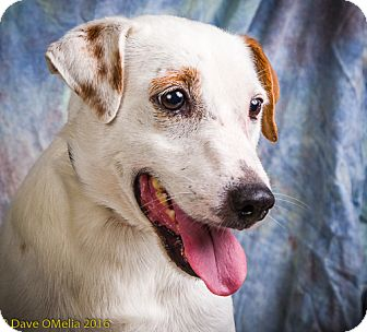 Jack Russell Terrier Mix Dog for adoption in Anna, Illinois - LUCKY