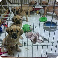 Adopt A Pet :: Puggle Puppies! - House Springs, MO