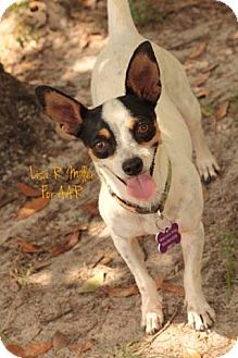 Chihuahua/Jack Russell Terrier Mix Dog for adoption in Freeport, Florida - Skylar