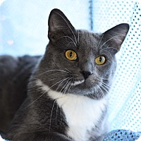 Adopt A Pet :: Calvin - Bristol, CT