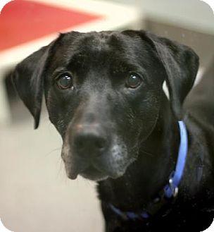 Labrador Retriever Mix Dog for adoption in Wichita, Kansas - Max