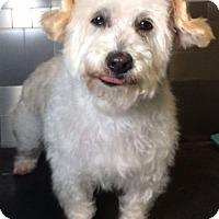 Westie, West Highland White Terrier Mix Dog for adoption in McKinney, Texas - Zoltan