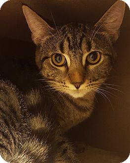 Domestic Shorthair Kitten for adoption in Grayslake, Illinois - Wiola