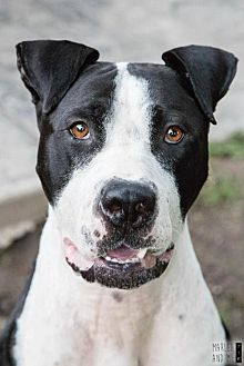 Great Dane Mix Dog for adoption in Lockport, New York - Dudley