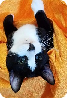 Domestic Shorthair Kitten for adoption in Colfax, Iowa - Tango