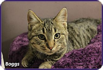 Domestic Shorthair Kitten for adoption in New Richmond,, Wisconsin - Boggs