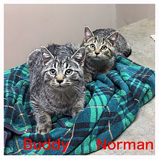 Domestic Shorthair Kitten for adoption in Woodstock, Ontario - Buddy