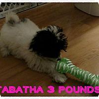 Adopt A Pet :: Tabatha - Flossmoor, IL