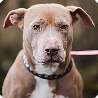 Adopt A Pet :: LillyBear (foster) - Portland, OR