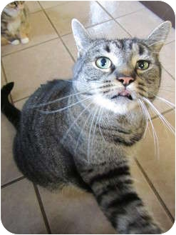 Domestic Shorthair Cat for adoption in Pascoag, Rhode Island - Tigger Too