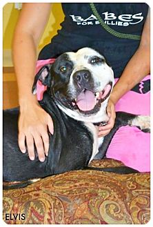 American Pit Bull Terrier/American Pit Bull Terrier Mix Dog for adoption in Phoenix, Arizona - Elvis-Adoption Pending
