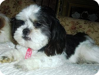 Shih Tzu Mix Dog for adoption in Toronto, Ontario - Isaac
