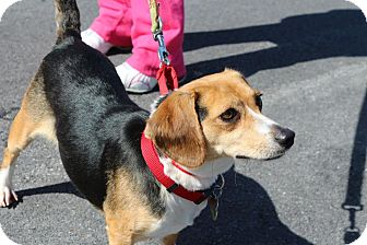 Beagle Mix Dog for adoption in Hastings, New York - Magic