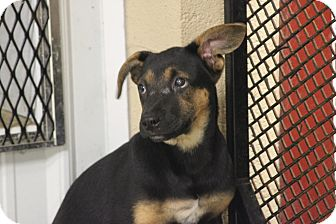 Shepherd (Unknown Type) Mix Puppy for adoption in Brattleboro, Vermont - Barton