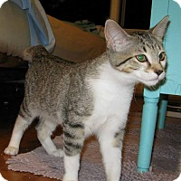 American Bobtail Cat for adoption in Garden City, Michigan - Miss Em