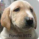 Adopt A Pet :: Poncho