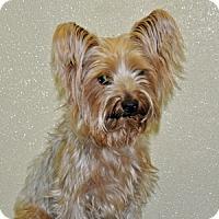Adopt A Pet :: Gizmo - Port Washington, NY