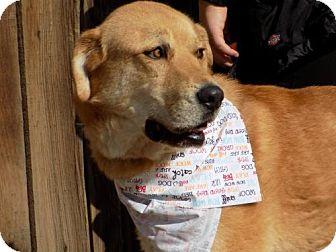 Labrador Retriever/Great Pyrenees Mix Dog for adoption in Apple Valley, California - Sheldon