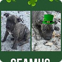 Adopt A Pet :: Seamus - Groveland, FL
