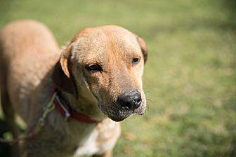 Labrador Retriever Mix Dog for adoption in Daleville, Alabama - Hayden