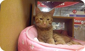 Domestic Shorthair Cat for adoption in Palm Springs, California - Simon