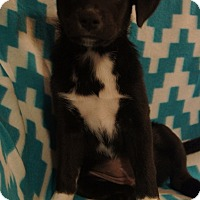 Adopt A Pet :: Huey - Hanover, PA