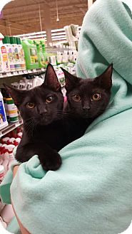 Manx Cat for adoption in Orland Park, Illinois - Foxy (F) & Roo (M) Bonded Pair