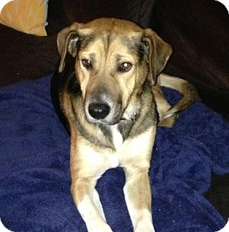 Beagle/German Shepherd Dog Mix Dog for adoption in Austin, Texas - Walker