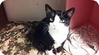Domestic Shorthair Cat for adoption in Diamond Springs, California - Bobbie