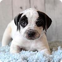 Adopt A Pet :: Gage - Waldorf, MD