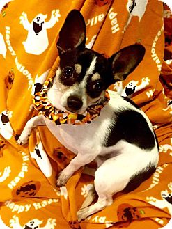 Fox Terrier (Smooth)/Chihuahua Mix Dog for adoption in Cleveland, Ohio - Tuck Everlasting (Tucker)