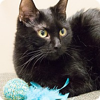 Bombay Cat for adoption in Chicago, Illinois - Lucia