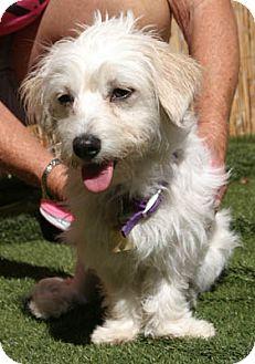 Maltese Mix Puppy for adoption in Ventura, California - Bella Mia