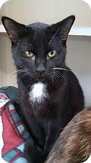 Domestic Mediumhair Kitten for adoption in Cheboygan, Michigan - 20860