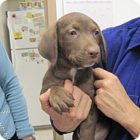 Basset Hound/Labrador Retriever Mix Puppy for adoption in Albuquerque, New Mexico - Ford