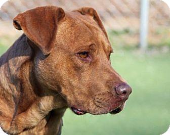 Mastiff/Shar Pei Mix Dog for adoption in Asheville, North Carolina - Brownie