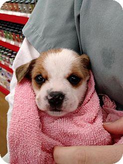 Terrier (Unknown Type, Medium) Mix Puppy for adoption in Lakeport, California - Sasha's Natalia