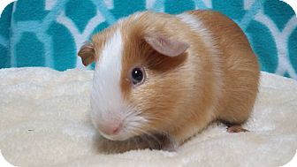 Guinea Pig for adoption in South Bend, Indiana - Nicklaus