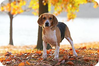 Beagle Mix Dog for adoption in Waldorf, Maryland - Cora Webster