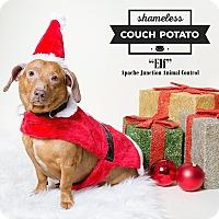 Adopt A Pet :: Elf - Apache Junction, AZ