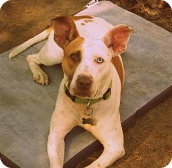 Basenji/Pit Bull Terrier Mix Dog for adoption in Brooklyn, New York - Zelda