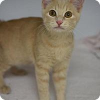 Adopt A Pet :: Jerry - DFW Metroplex, TX