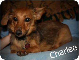 Dachshund/Chihuahua Mix Puppy for adoption in Kokomo, Indiana - Charlee  ChiWeenie