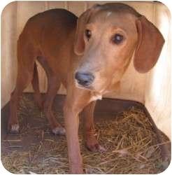 Redbone Coonhound/Labrador Retriever Mix Dog for adoption in Middletown, New York - Tootsie