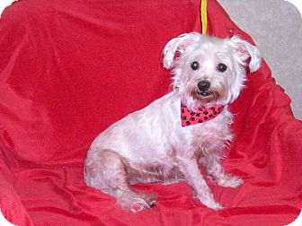 "Maltese Mix Dog for adoption in New Castle, Pennsylvania - "" Moby """