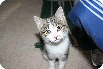 Domestic Shorthair Kitten for adoption in Kalispell, Montana - Hailley