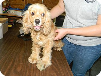 Cocker Spaniel Dog for adoption in Kannapolis, North Carolina - Goldie/Maddie  Adopted!