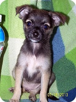 Pomeranian/Chihuahua Mix Puppy for adoption in Sherman, Connecticut - Badger Betty's Dog