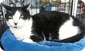 Domestic Shorthair Cat for adoption in Austin, Texas - Piano